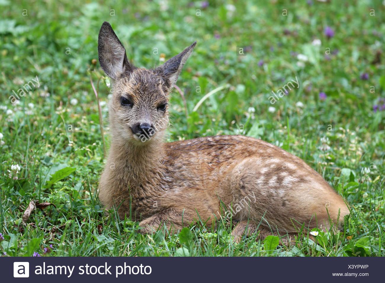 Roe deer (Capreolus capreolus), fawn, five weeks old, lying in meadow, Allgäu, Bavaria, Germany - Stock Image