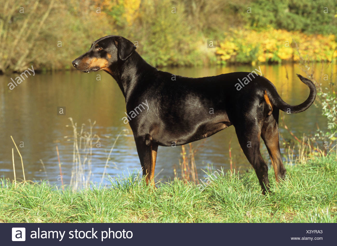 Dobermann - standing at the shore - Stock Image