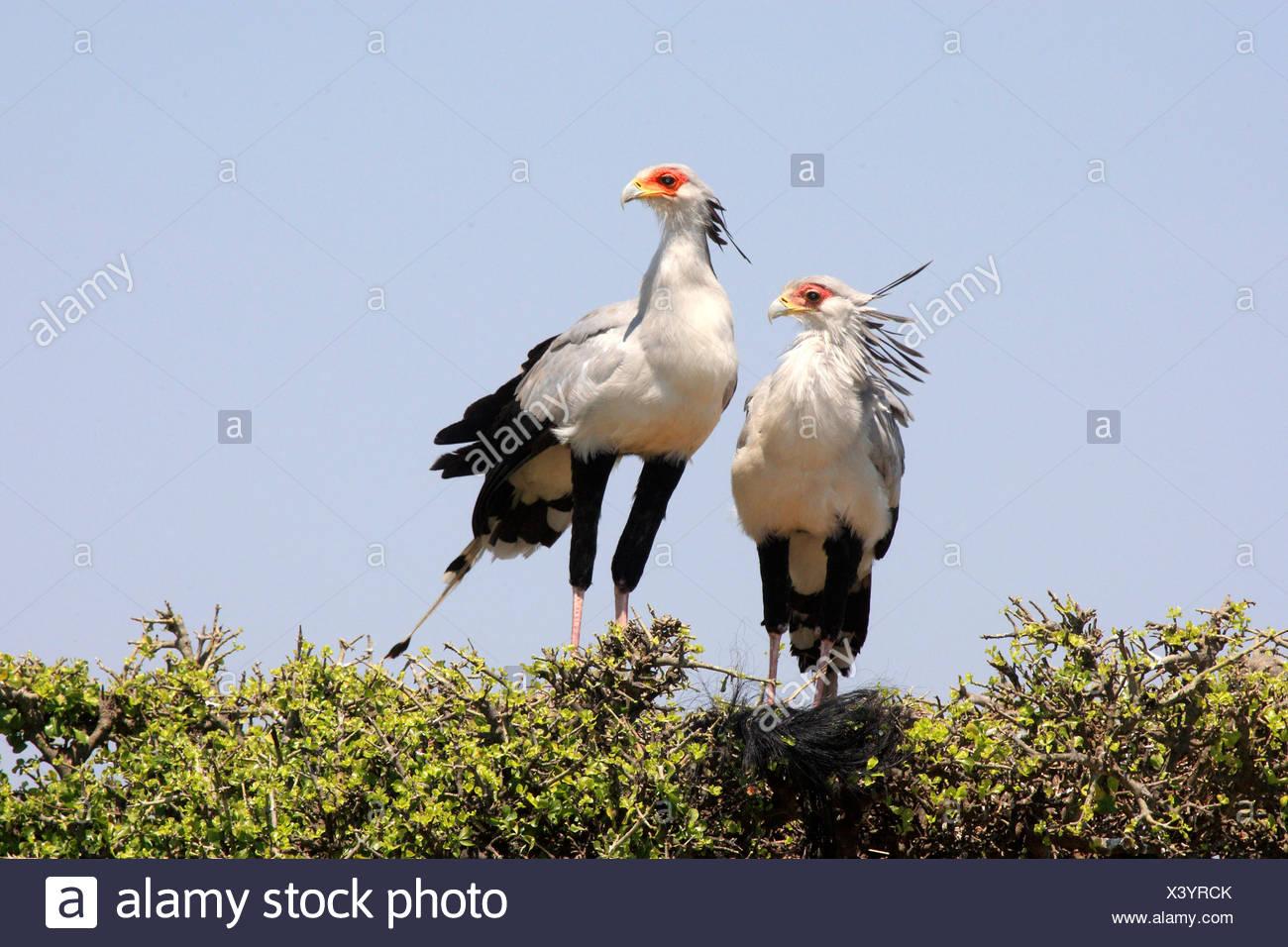 secretary bird, Sagittarius serpentarius (Sagittarius serpentarius), two birds sitting side by side on a tree top, Kenya, Masai Mara National Park - Stock Image