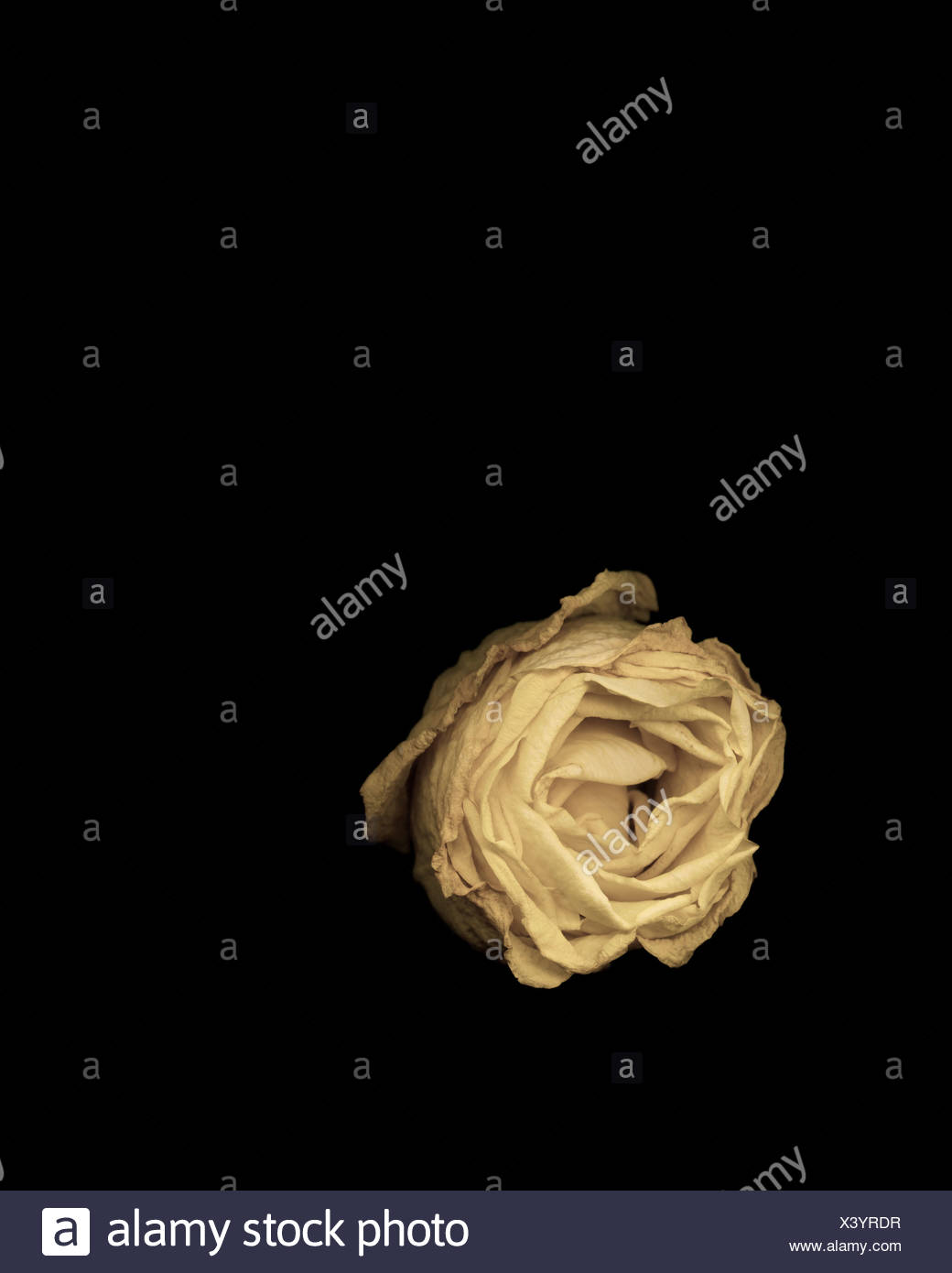 Studio shot of wilting rose - Stock Image