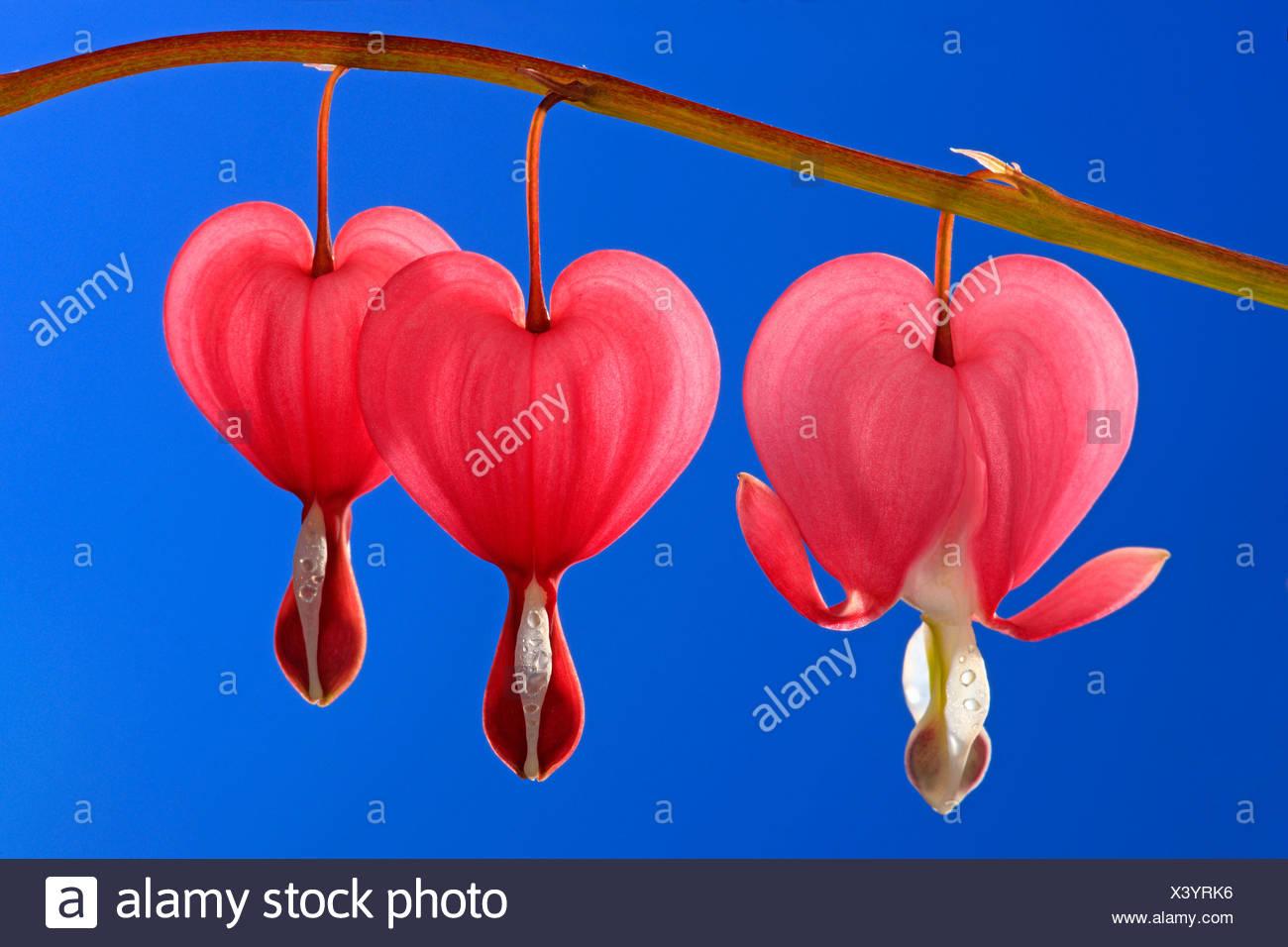 Bleeding Heart or Lyre-flower (Dicentra spectabilis), flowers - Stock Image
