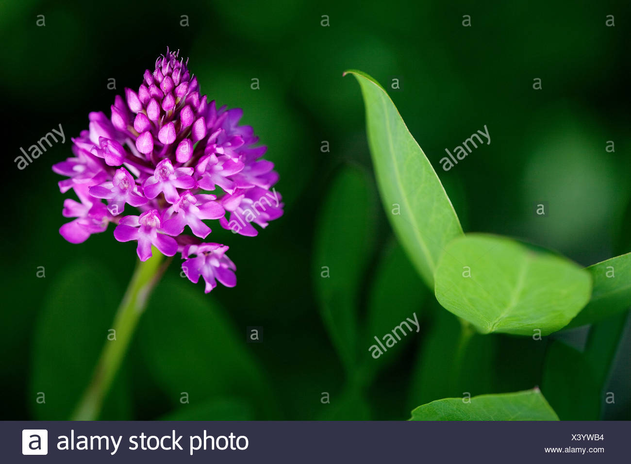 Pyramidal orchid (Anacamptis pyramidalis), Plitvice Lakes National Park, Croatia, Europe Stock Photo