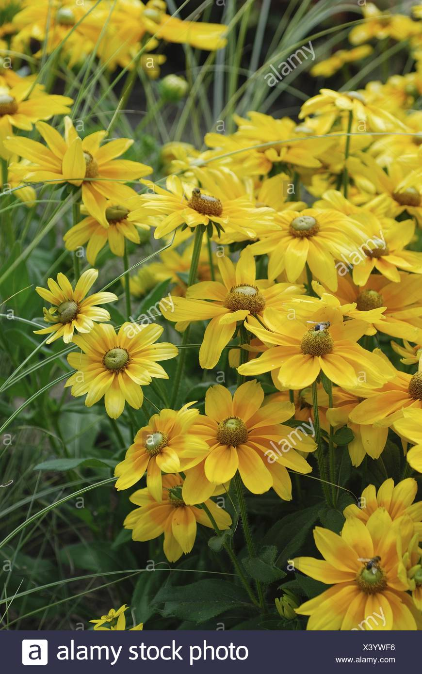 black-eyed susan, hairy coneflower, yellow daisy (Rudbeckia hirta 'Prarie Sun', Rudbeckia hirta Prarie Sun), cultivar Prarie Sun Stock Photo
