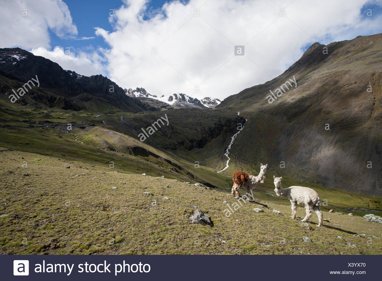 Two alpacas, Lama pacos, in an alpine pasture in the Andes Mountains, near the Interoceanic Highway. - Stock Image