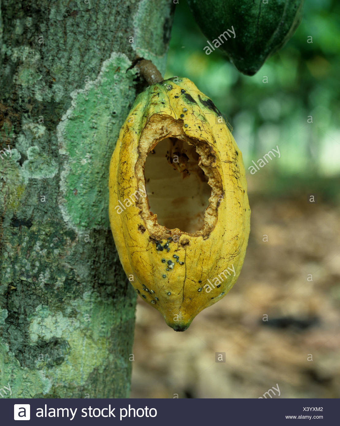 Rat or squirrel rodent damage to a cocoa pod on the bush Malaysia - Stock Image