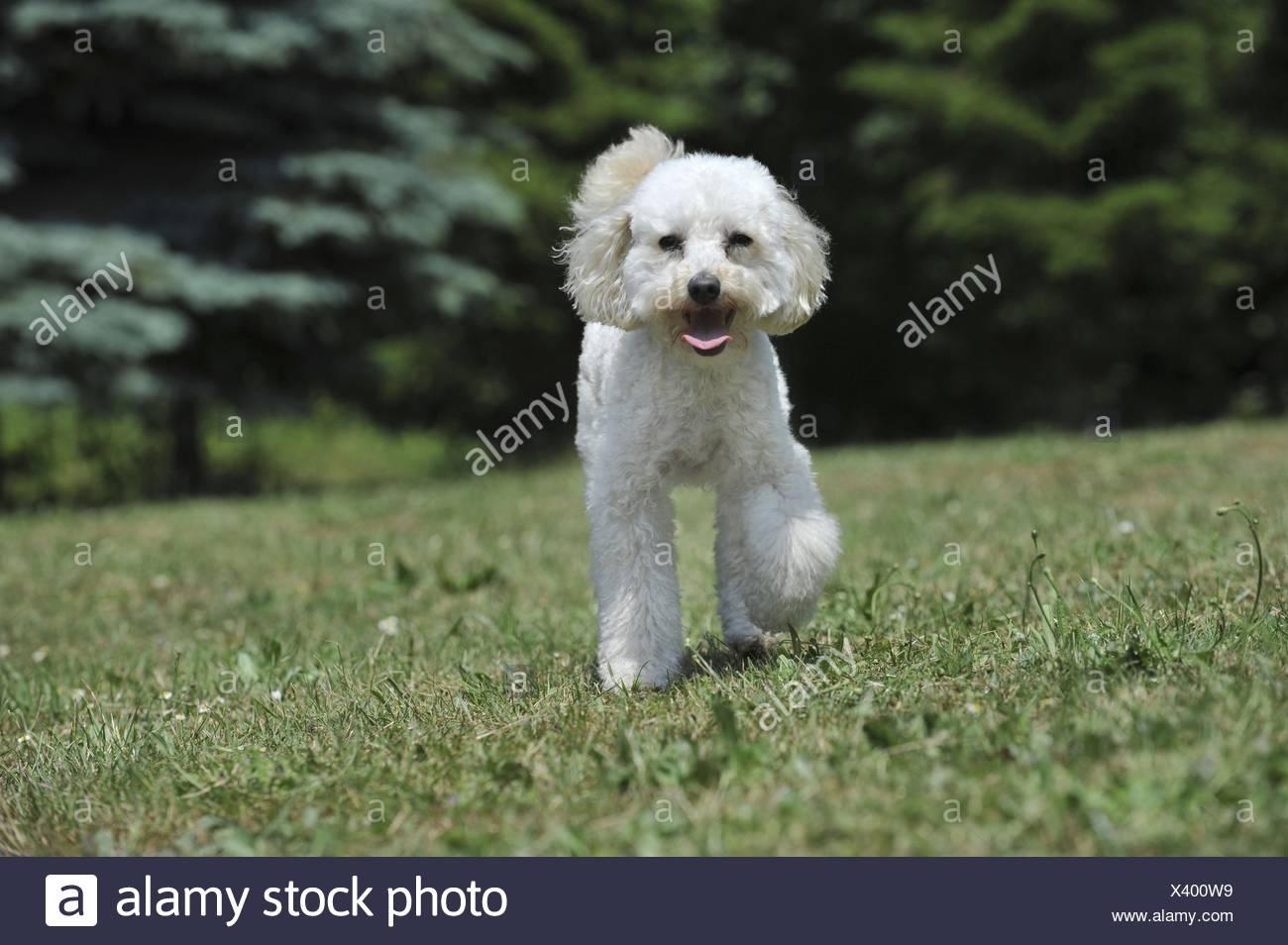 walking Poodle - Stock Image