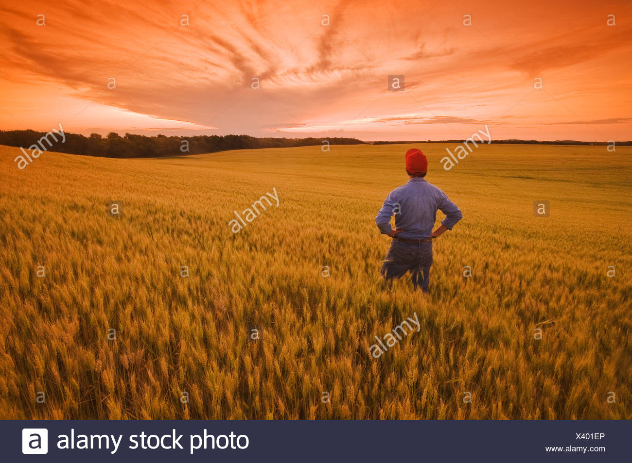 a man looks out over a field of maturing wheat, near Treherne, Manitoba, Canada Stock Photo