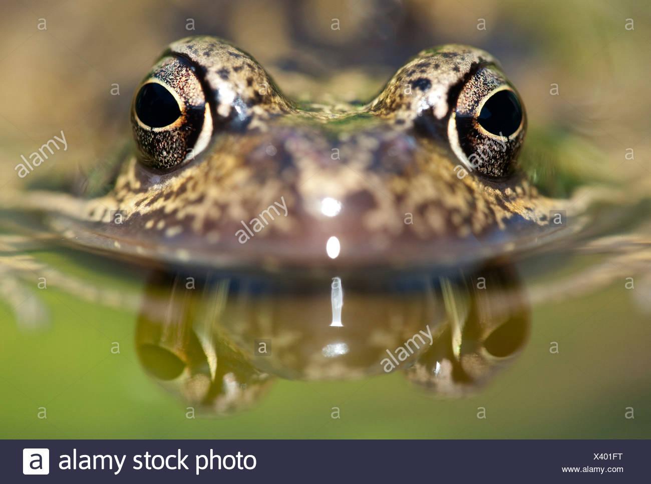 Common Frog Rana temporaria UK - Stock Image