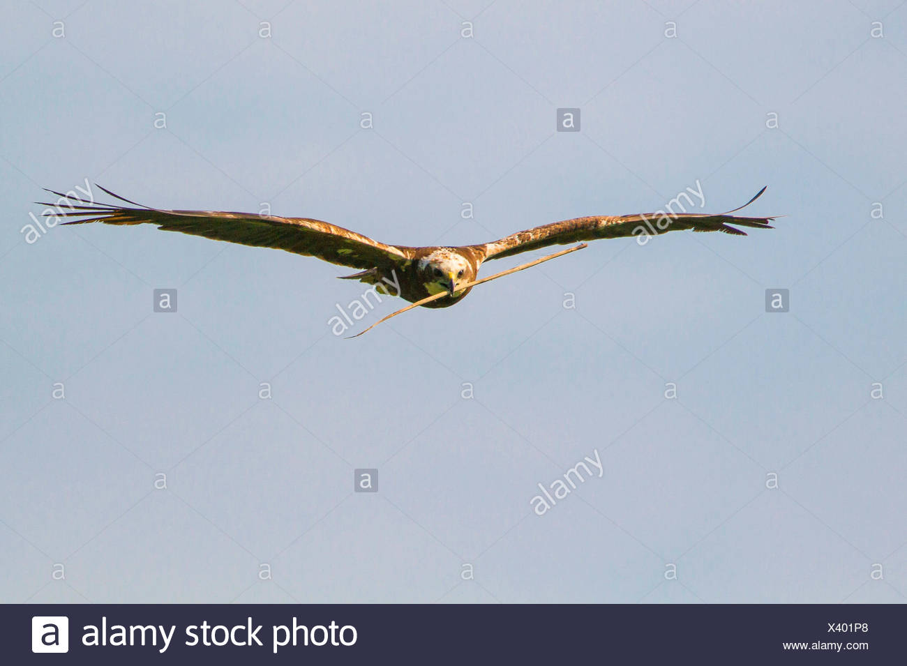 Western Marsh Harrier (Circus aeruginosus), female flying with nesting material in the bill, Germany, Bavaria, Oberbayern, Upper Bavaria Stock Photo