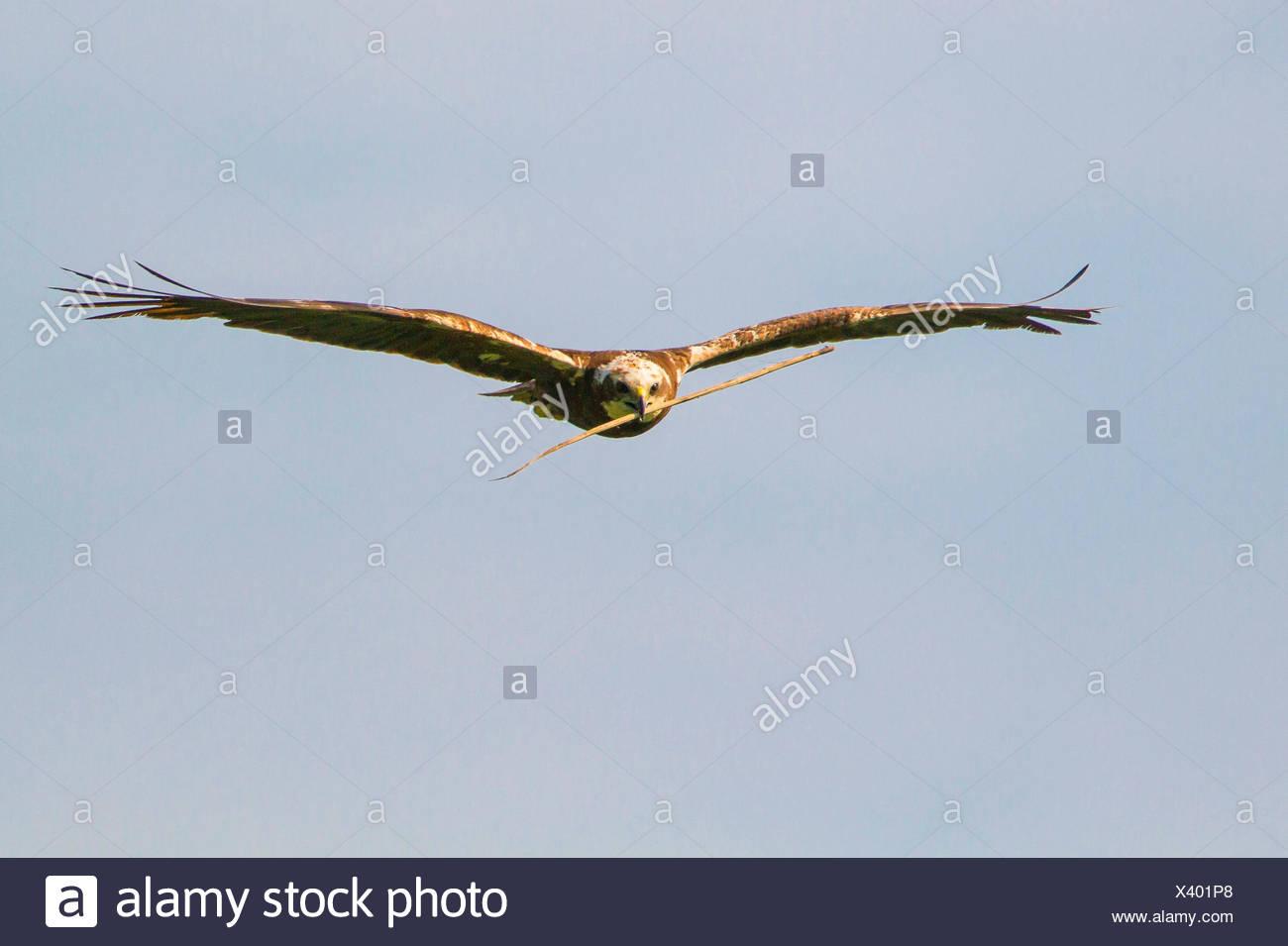 Western Marsh Harrier (Circus aeruginosus), female flying with nesting material in the bill, Germany, Bavaria, Oberbayern, Upper Bavaria - Stock Image