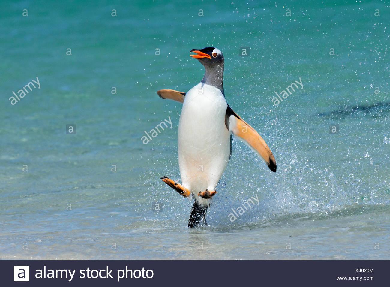 Gentoo penguin (Pygoscelis papua) jumping onto beach, Carcass Island, Falkland Islands. - Stock Image