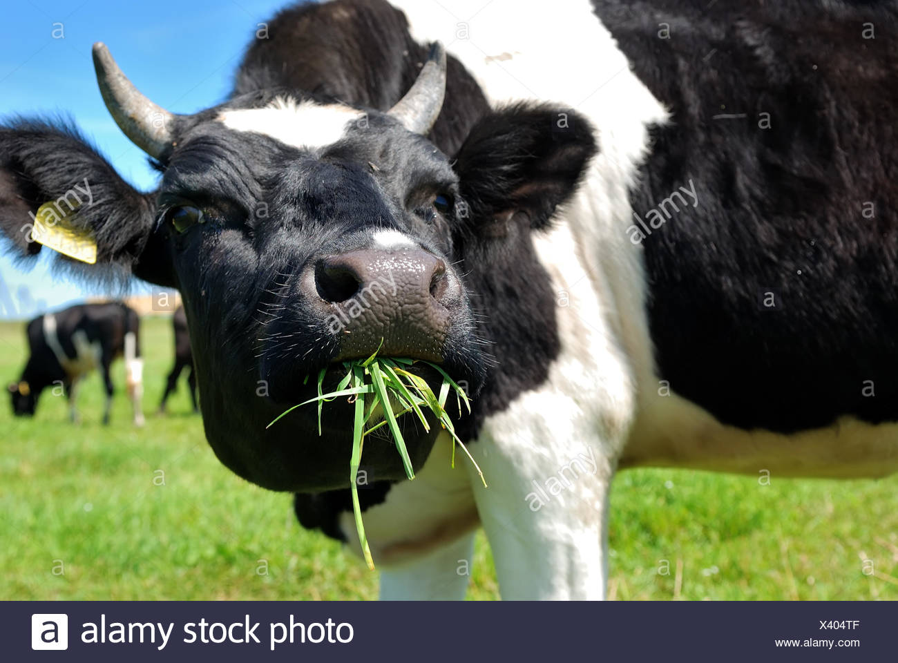 cow chewing grass - Stock Image