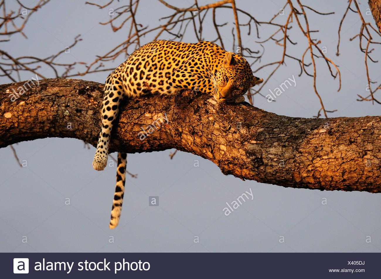 Leopard Panthera pardus Ulusaba Sir Richard Branson's Private Game Reserve Sabi Sands Game Reserve Mpumalanga South Africa cat - Stock Image