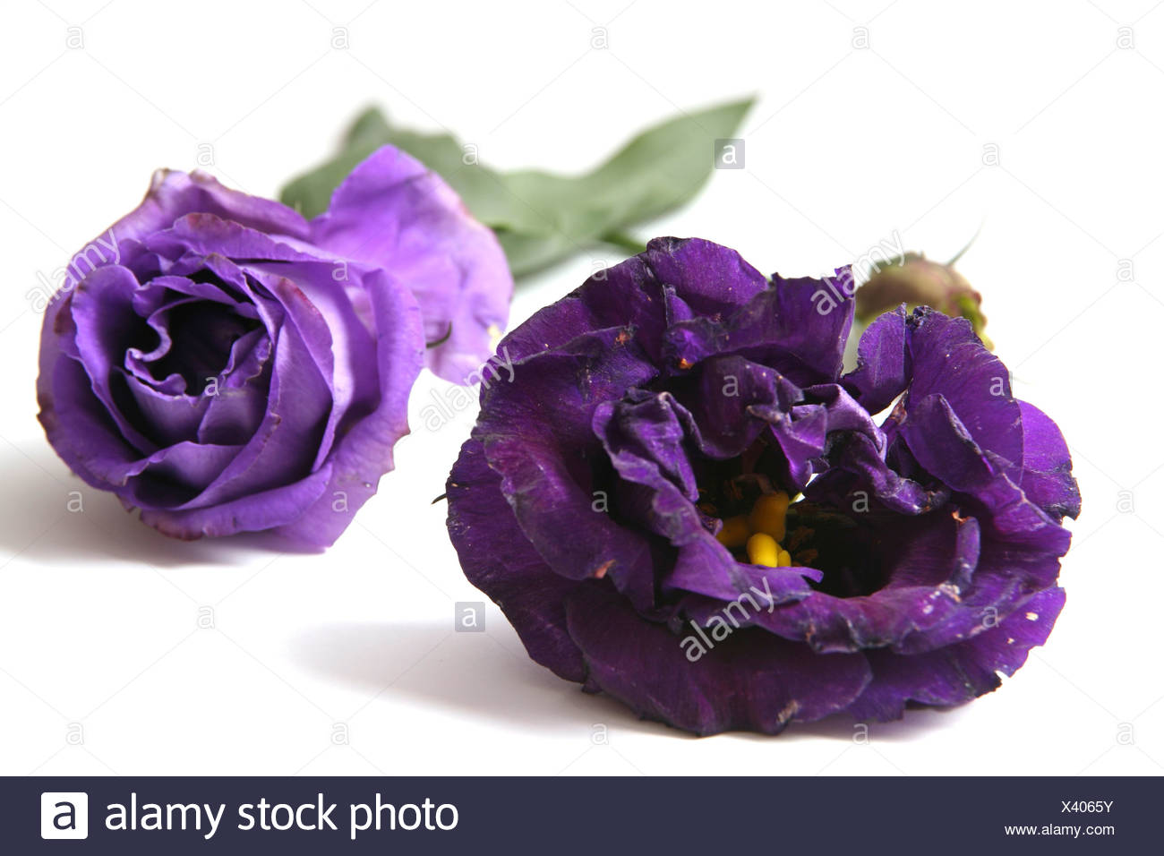 Cutout Of A Purple Rose On White Background