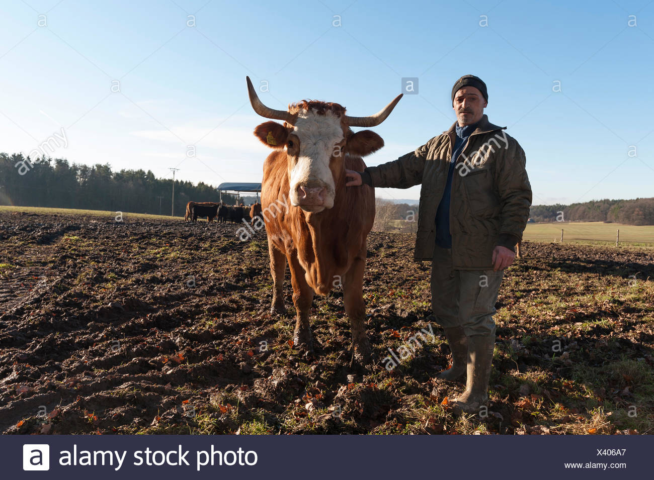 Farmer with Salers cow in pasture, Middle Franconia, Bavaria, Germany - Stock Image