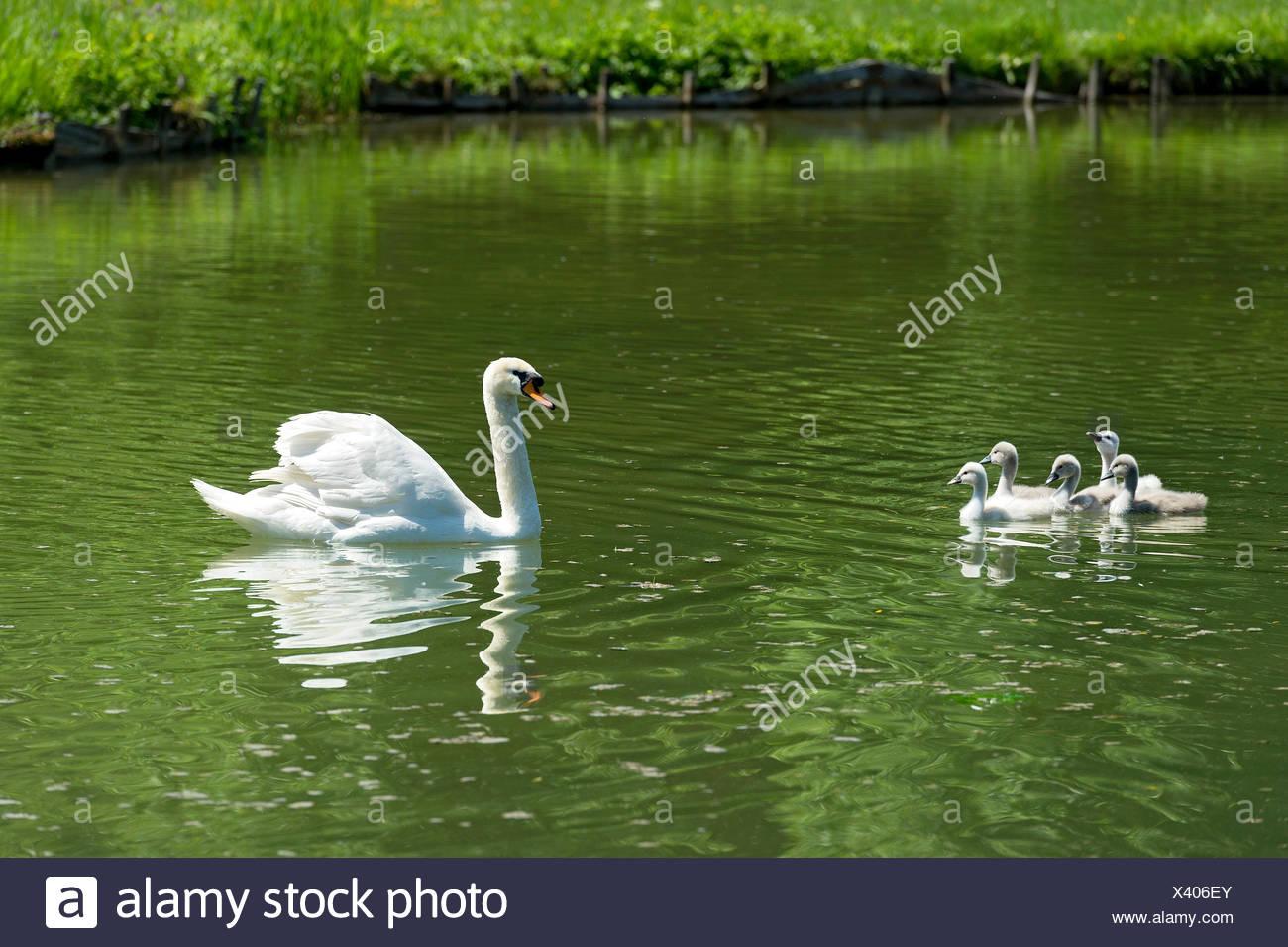 Mute Swan (Cygnus olor) with young birds, Central Canal, Schleissheim Palace complex, Oberschleißheim, Upper Bavaria, Bavaria - Stock Image