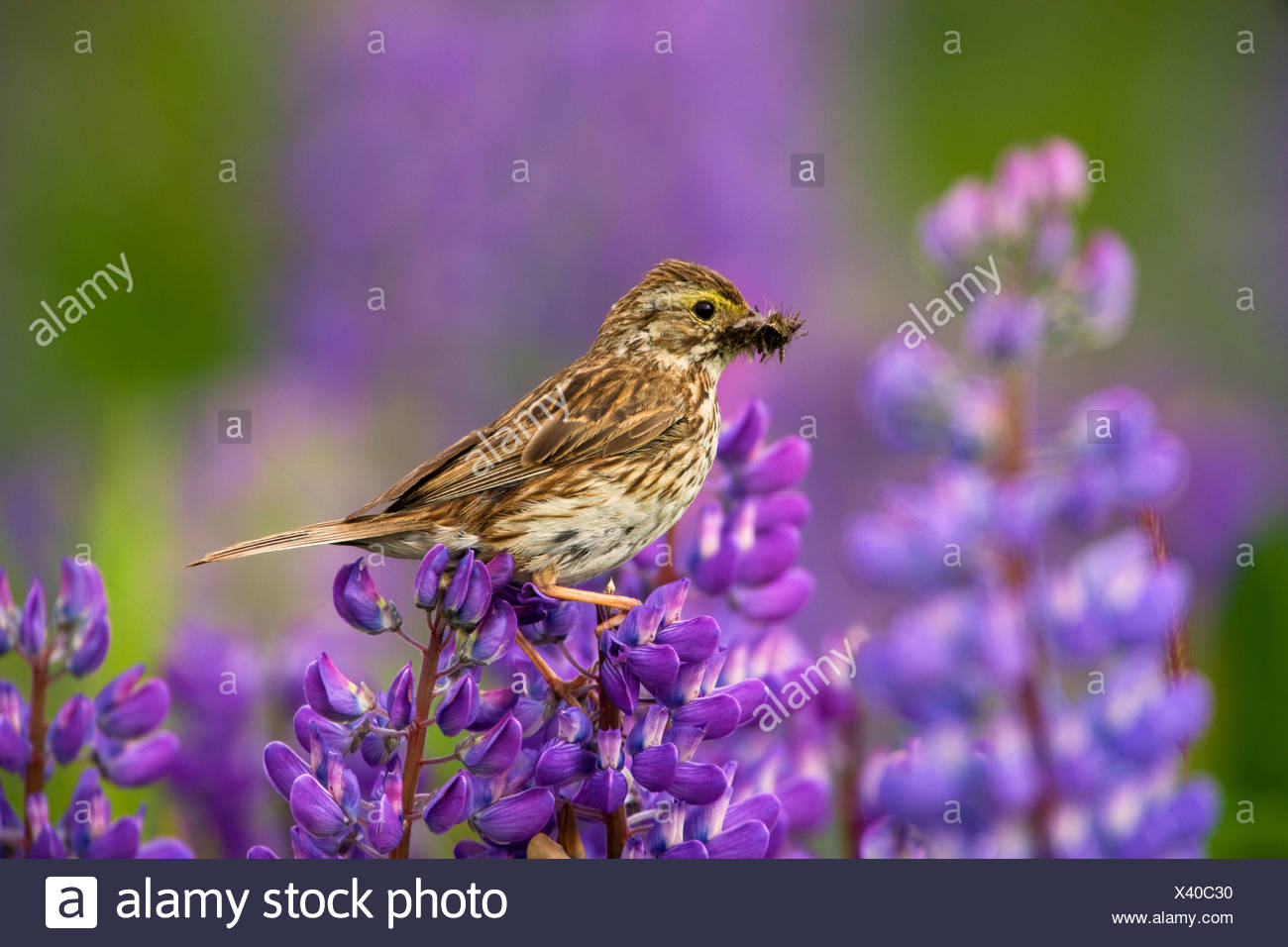 Savannah Sparrow on a nootka lupine, Chugach National Forest, near Seward, Alaska - Stock Image
