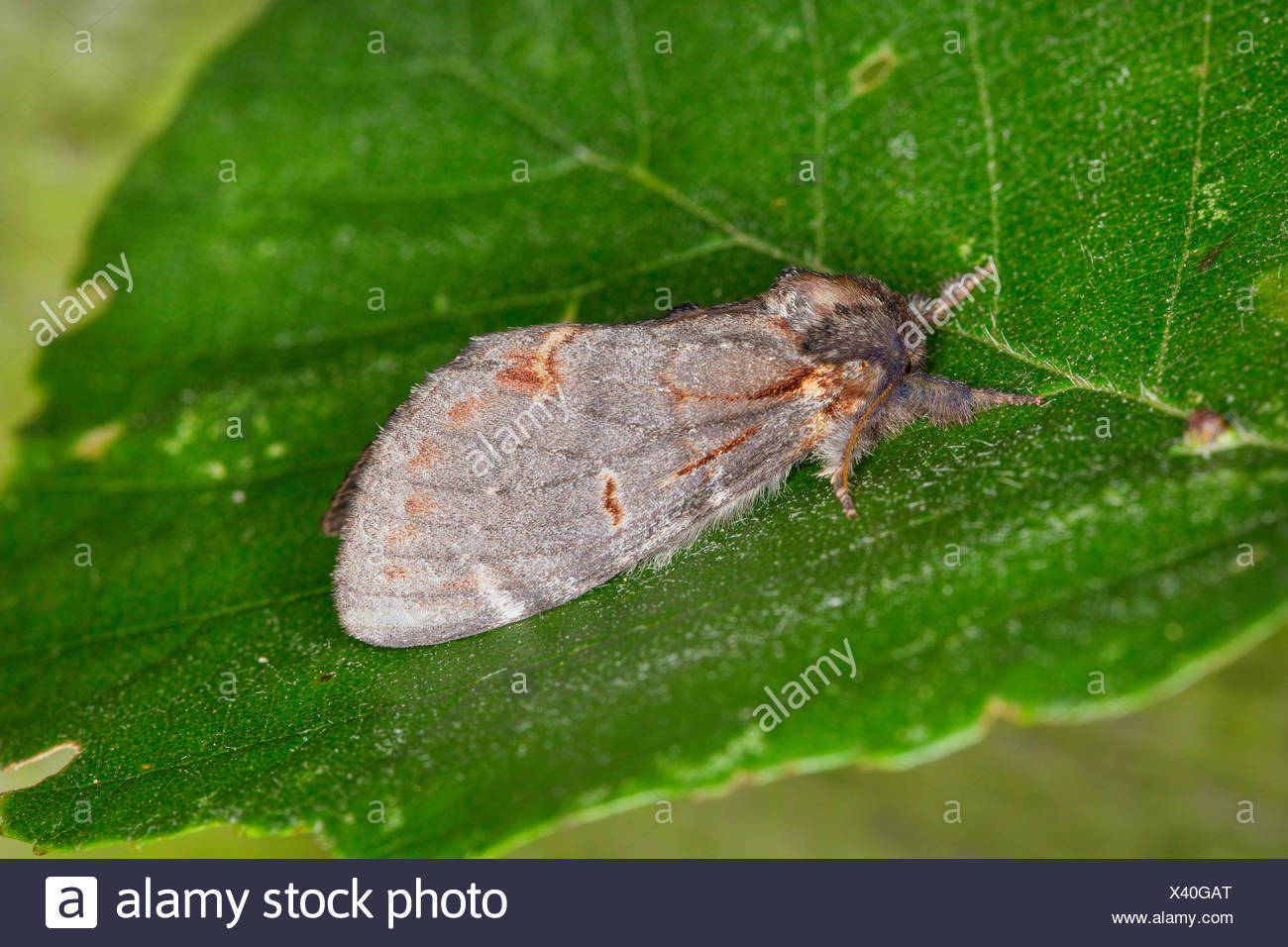 iron prominent (Notodonta dromedarius), on a leaf, Germany - Stock Image