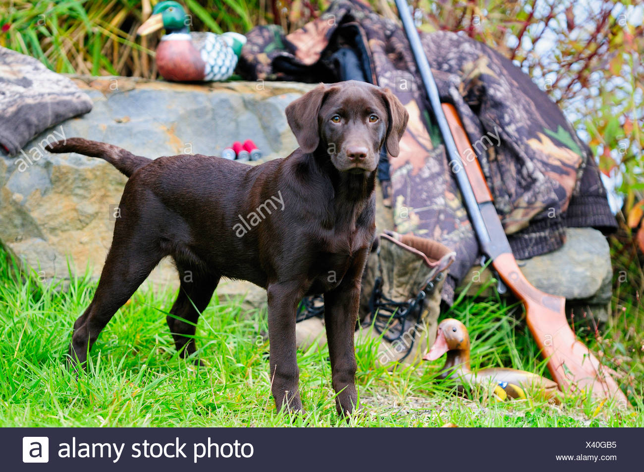 Chocolate Lab beside a Cooey12 gauge single shot shotgun, a camouflage jacket and boots, Duncan, British Columbia, Canada. - Stock Image