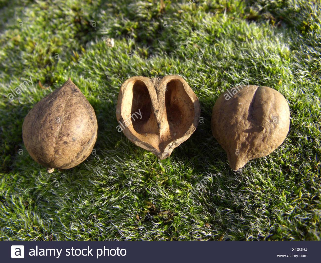 bitter-nut hickory, bitternut hockory (Carya cordiformis), fruits Stock Photo