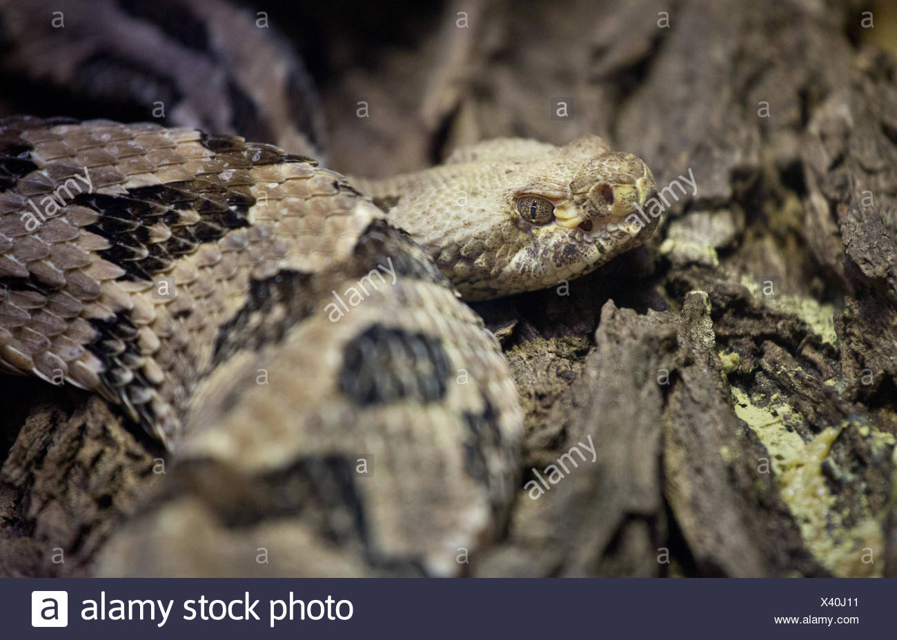 Dangerous Snake Stock Photos & Dangerous Snake Stock Images