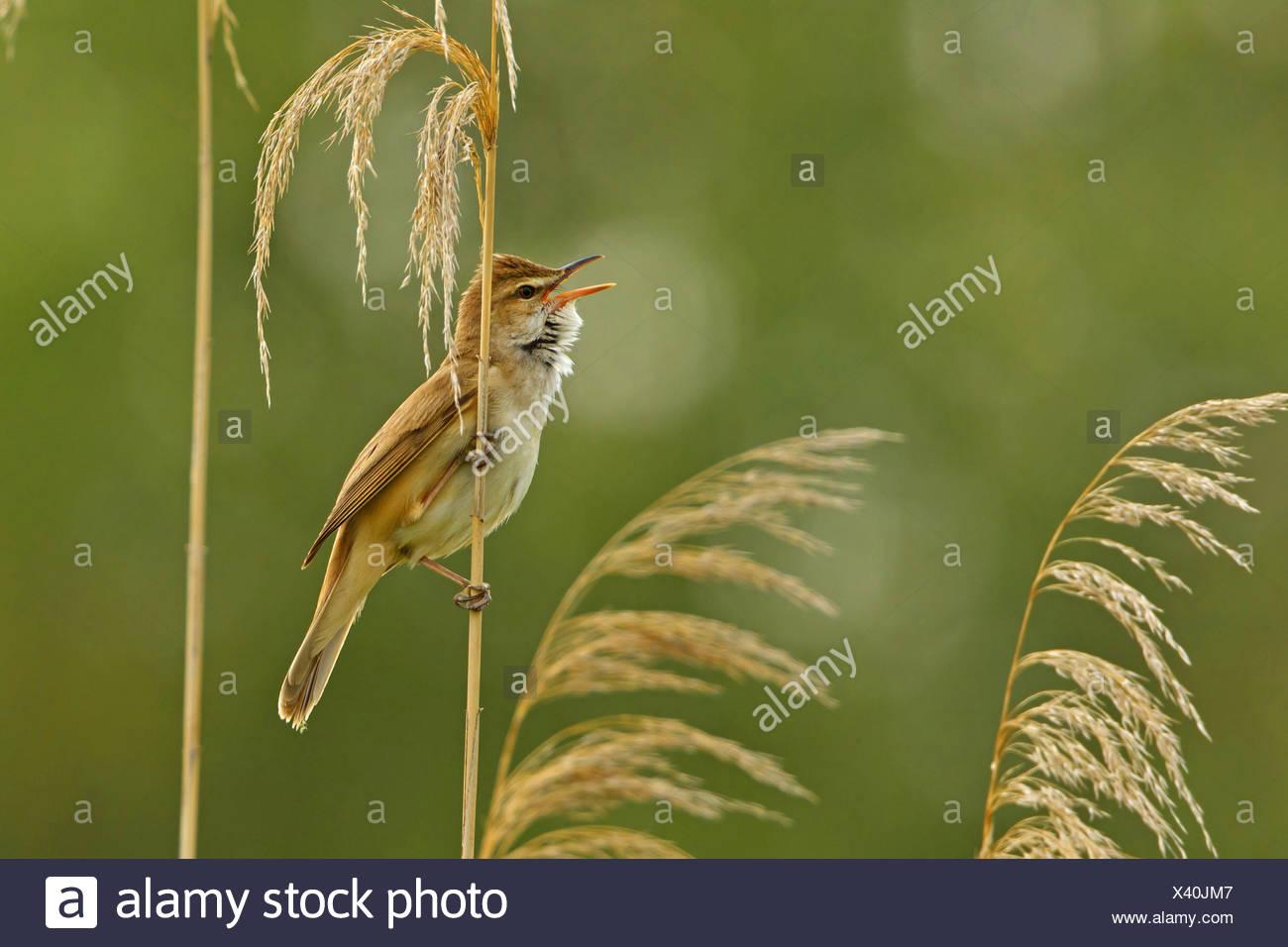 great reed warbler (Acrocephalus arundinaceus), sitting at reed singing, Turkey, Sanliurfa, Birecik Gravel Pits, Birecik Stock Photo