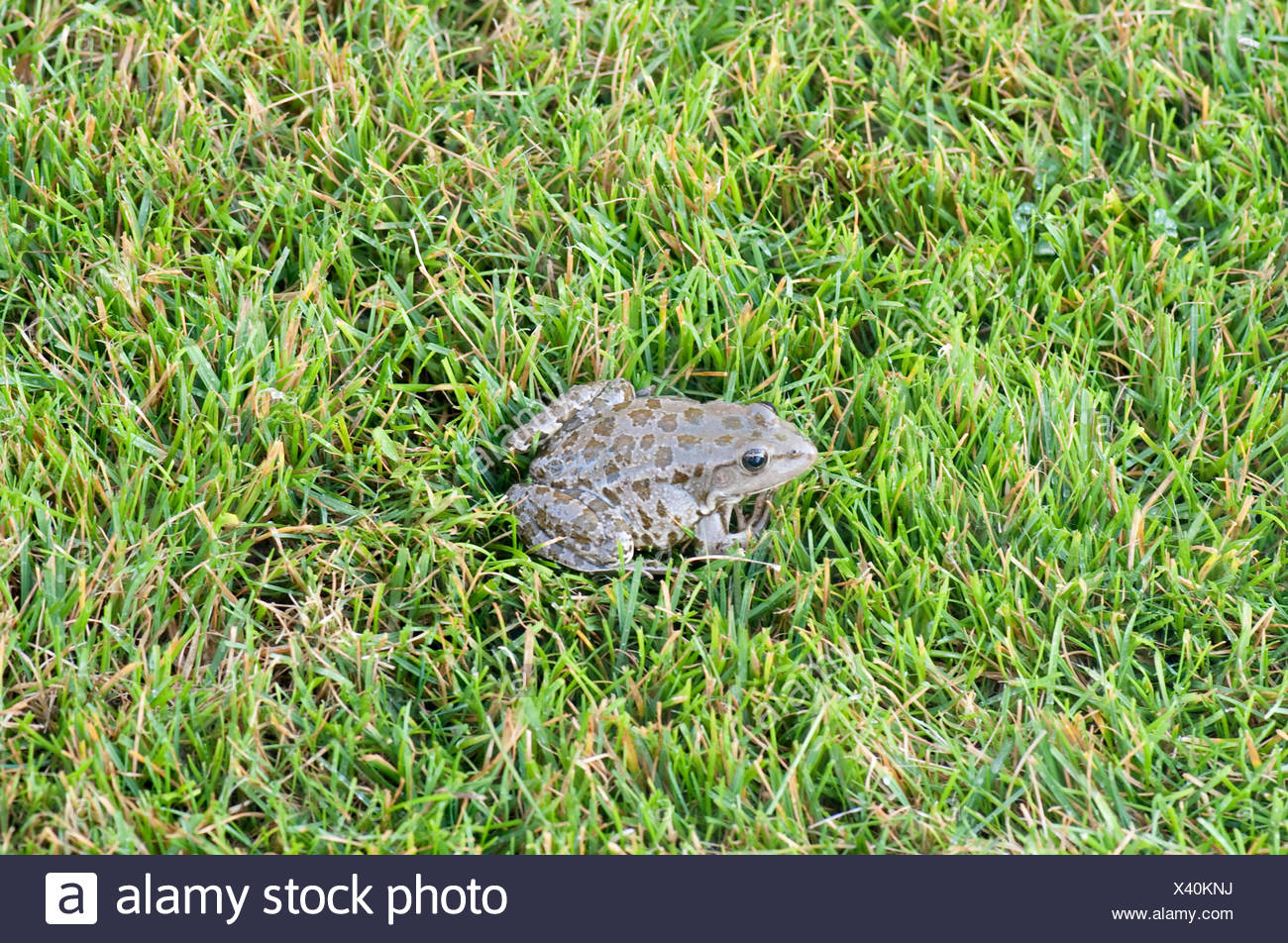 Marsh Frog, Pelophylax ridibundus, Danube Delta, Romania, sitting in grass on river bank - Stock Image