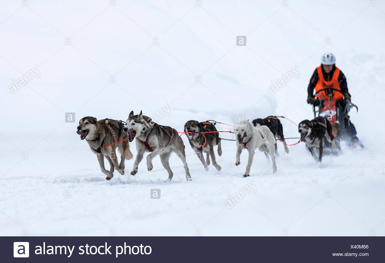Sledge dog team on snow, Huskies, sled dog race, Unterjoch, Allgäu, Bavaria, Germany - Stock Image