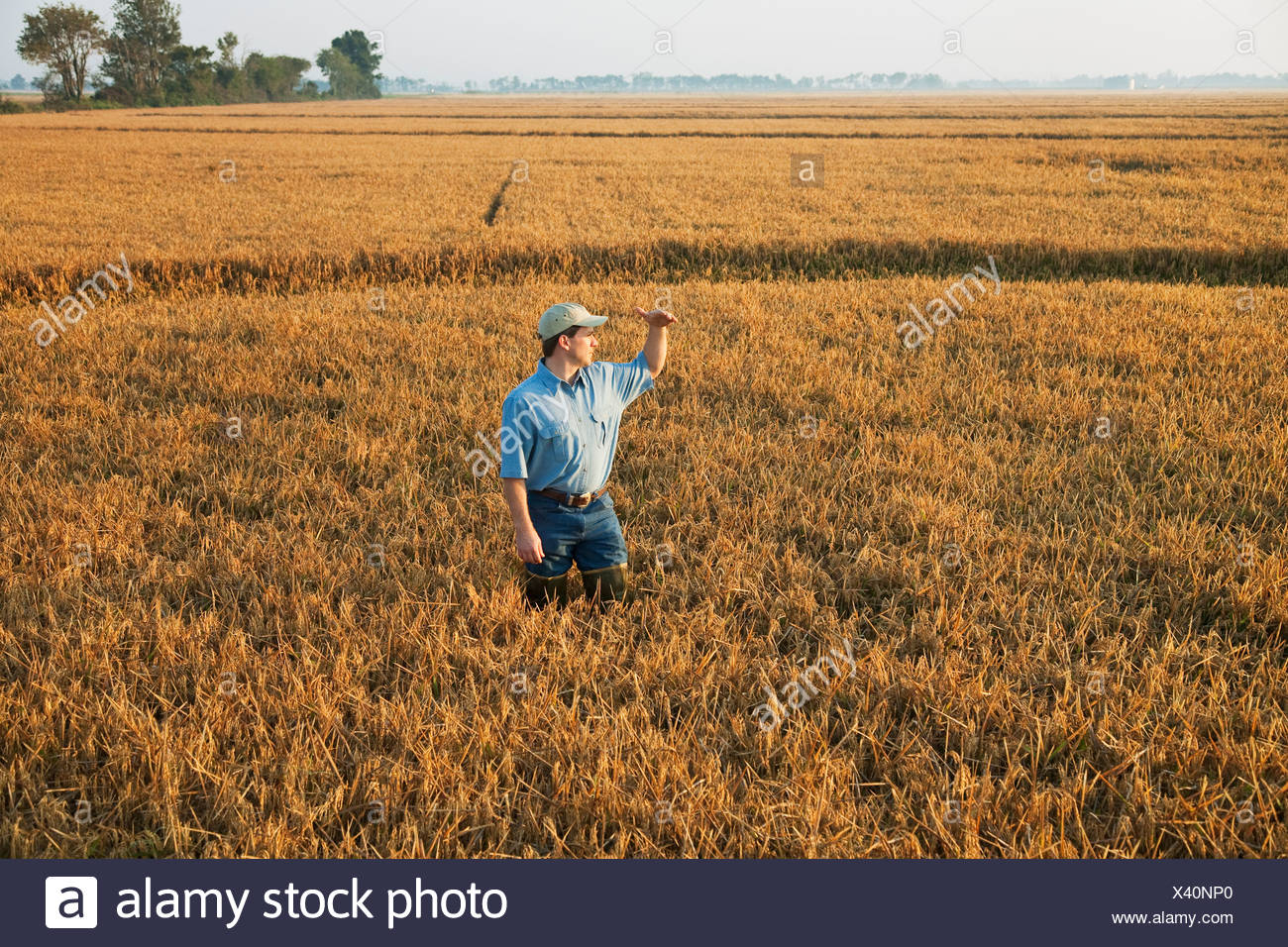 A farmer (grower) standing in his field inspects his nearly mature rice crop in order to determine when the harvest will begin. - Stock Image