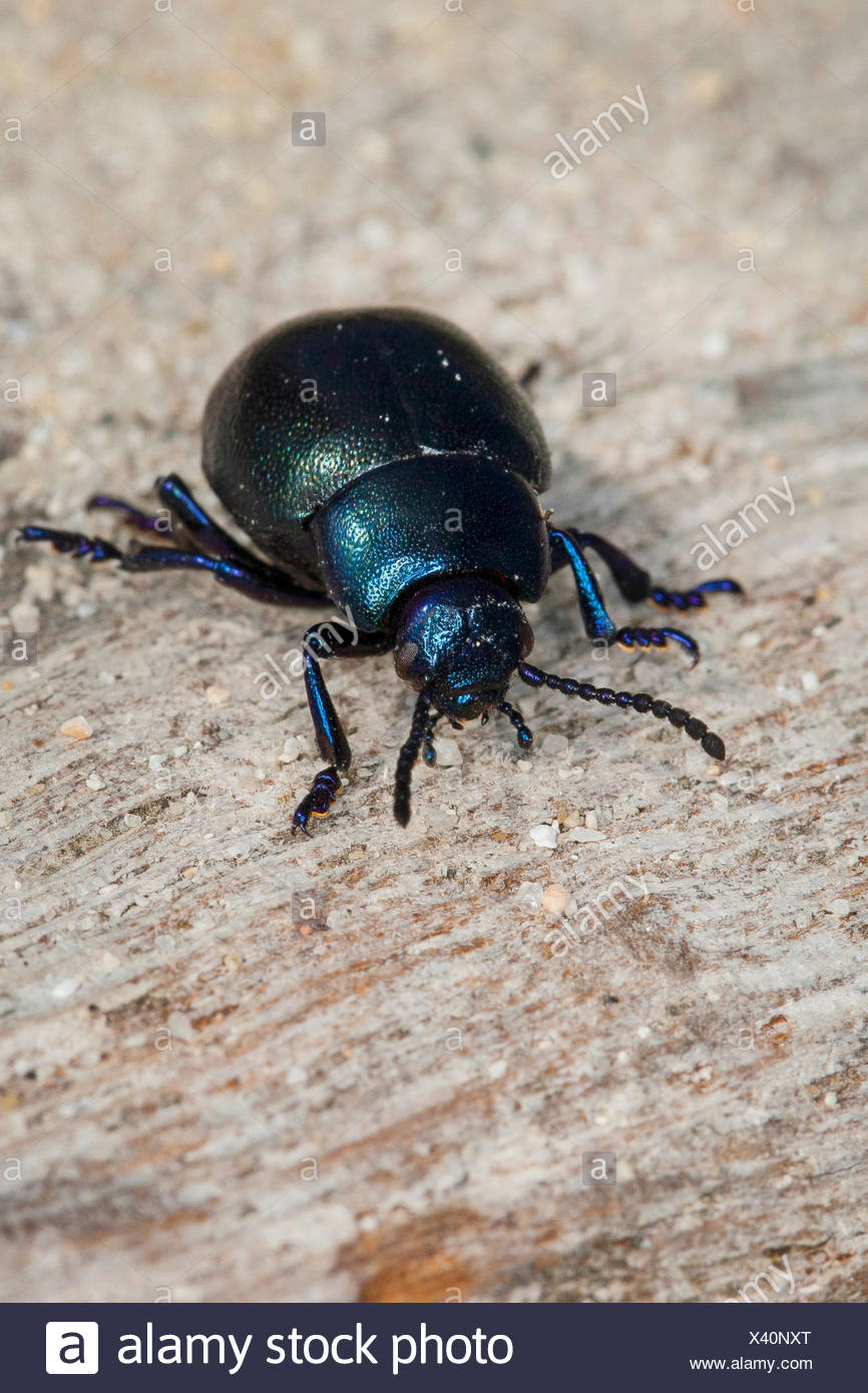 Blood spewer, Blood spewing beetle (Timarcha spec), front view, Germany - Stock Image