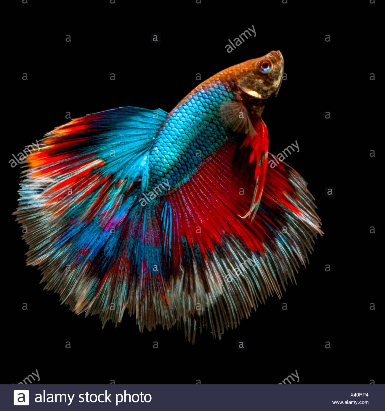 Portrait of a betta fish Stock Photo: 277843164 - Alamy