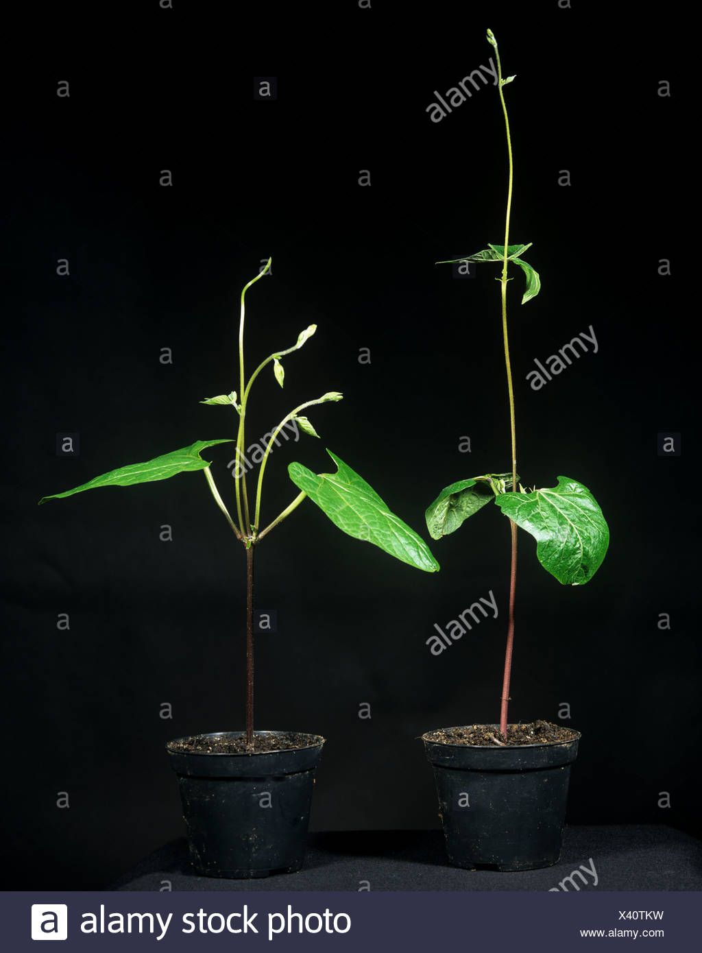 Apical dominance, comparing two runner bean plants where one has had the growing point removed - Stock Image