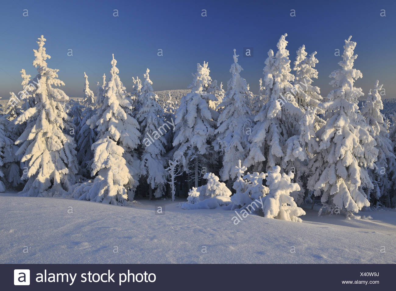 Snowy conifers, winters, snow head, mountain Gehl, Thuringia, Germany, - Stock Image