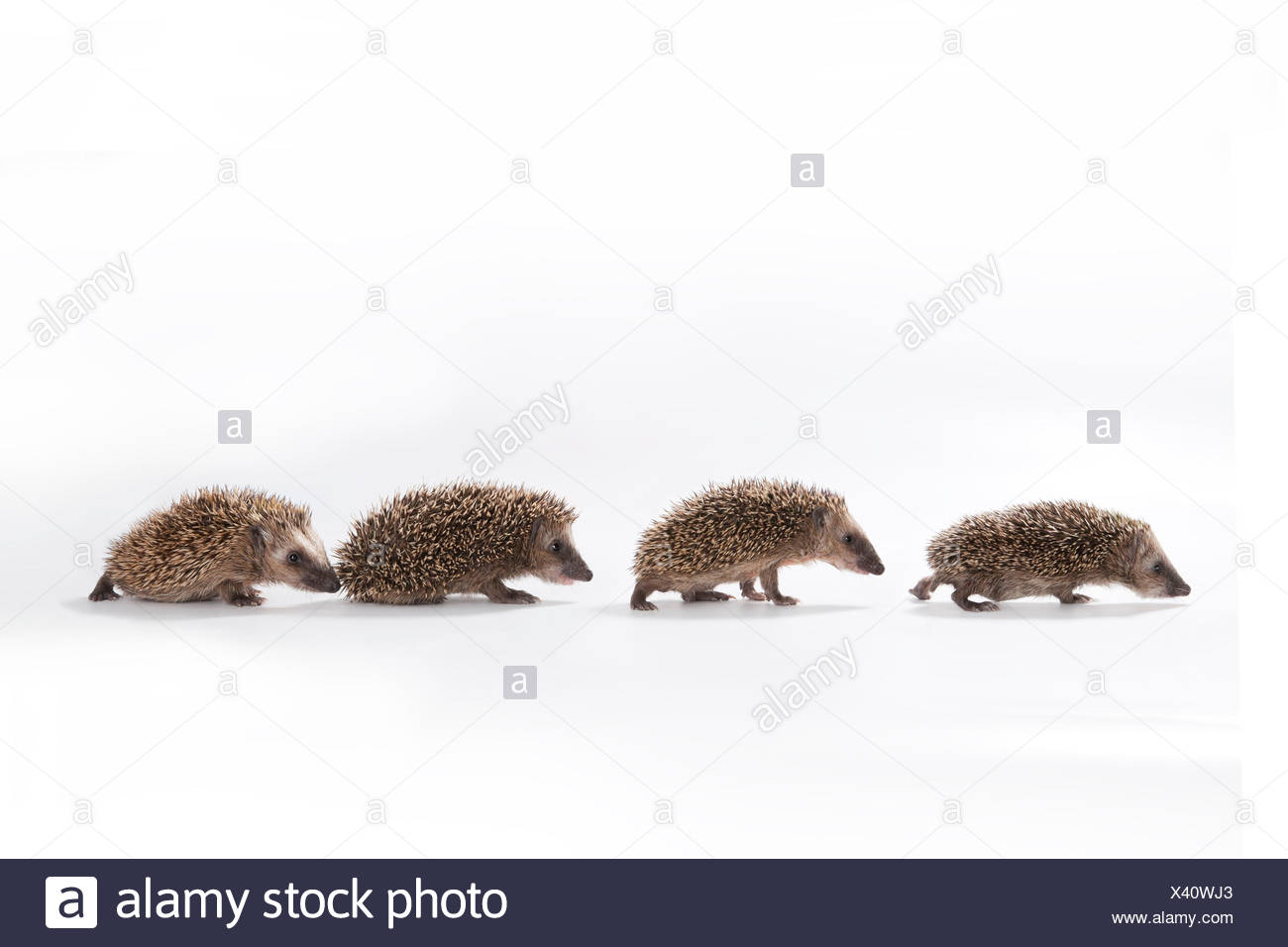 European hedgehog (Erinaceus europaeus), four young hedgehogs walking in a line, captive Stock Photo
