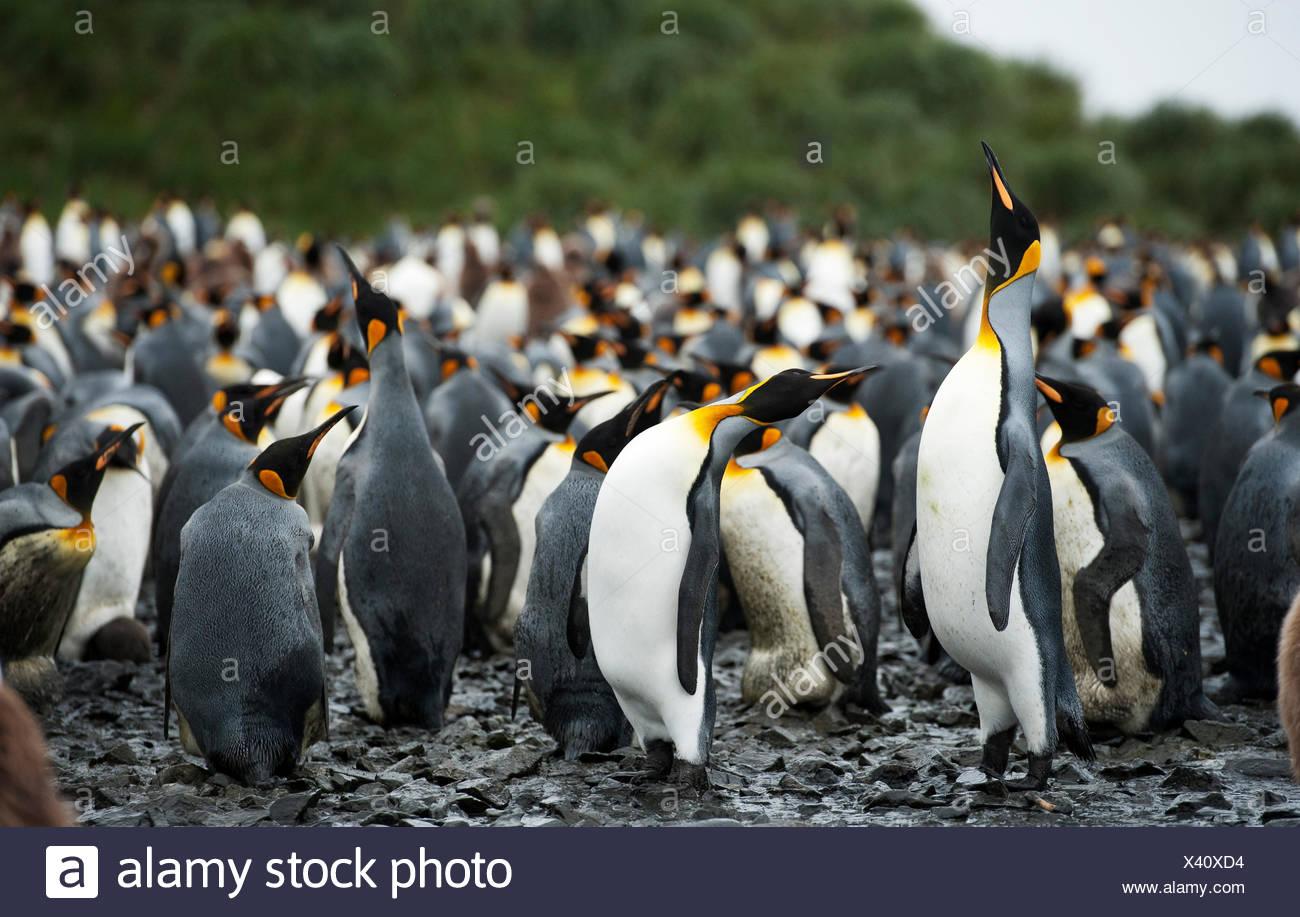 King Penguin, Antarctica - Stock Image