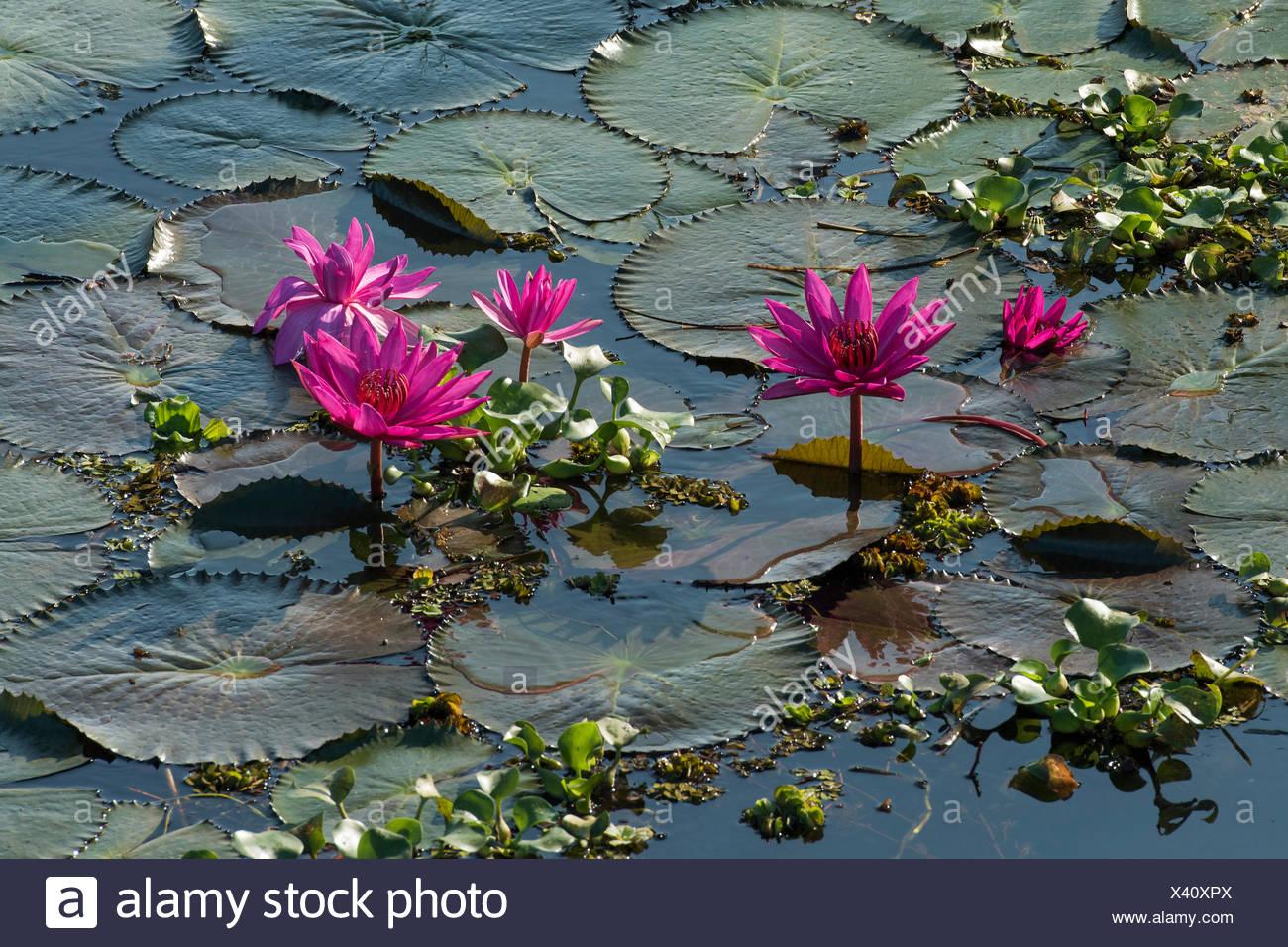 Kerala Lotus Stock Photos Kerala Lotus Stock Images Alamy