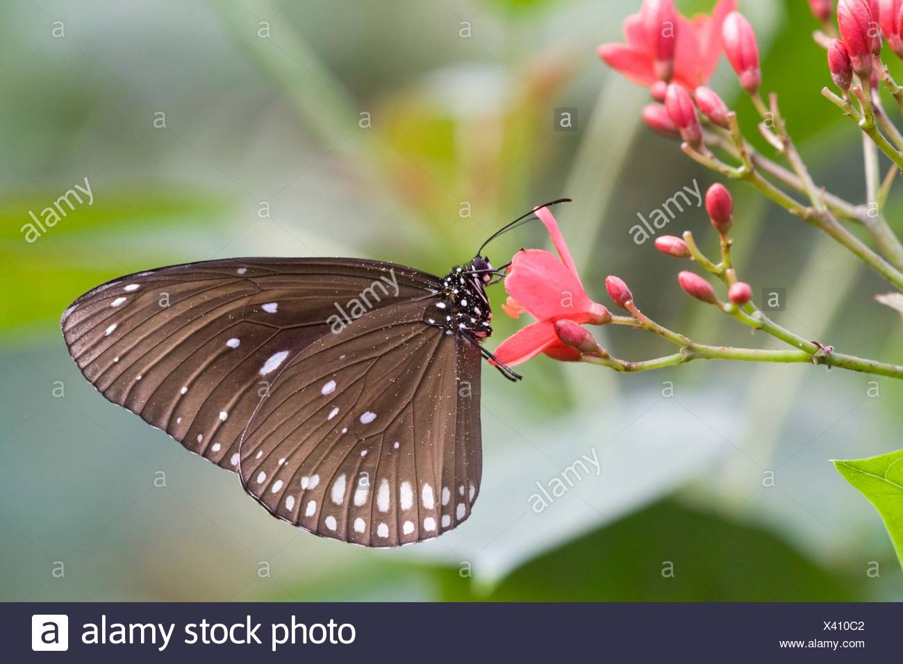 Euploea core sits on a flower in a zoo, Netherlands. - Stock Image
