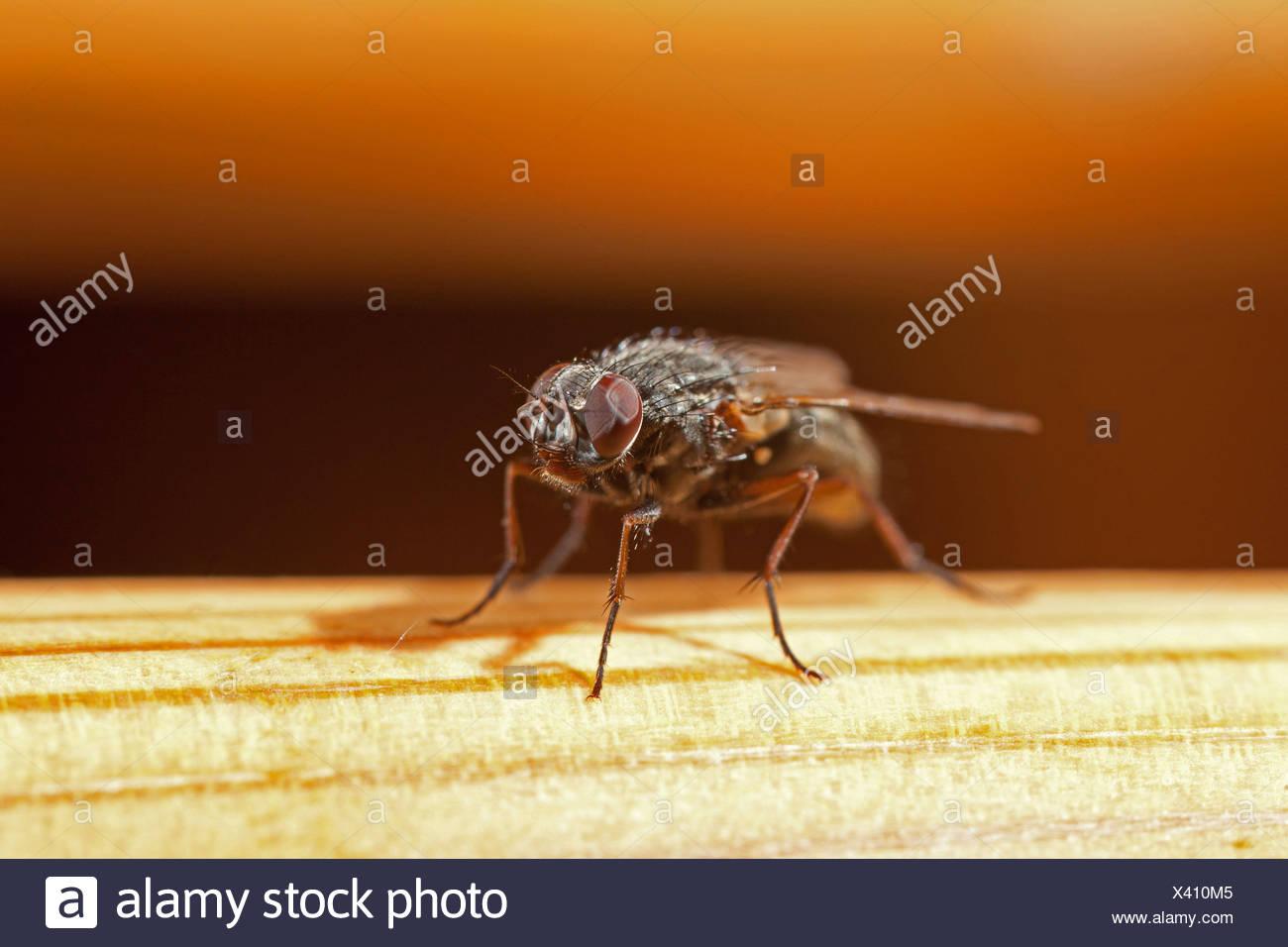 lesser house fly (Fannia canicularis), macro shot, Germany, Bavaria - Stock Image