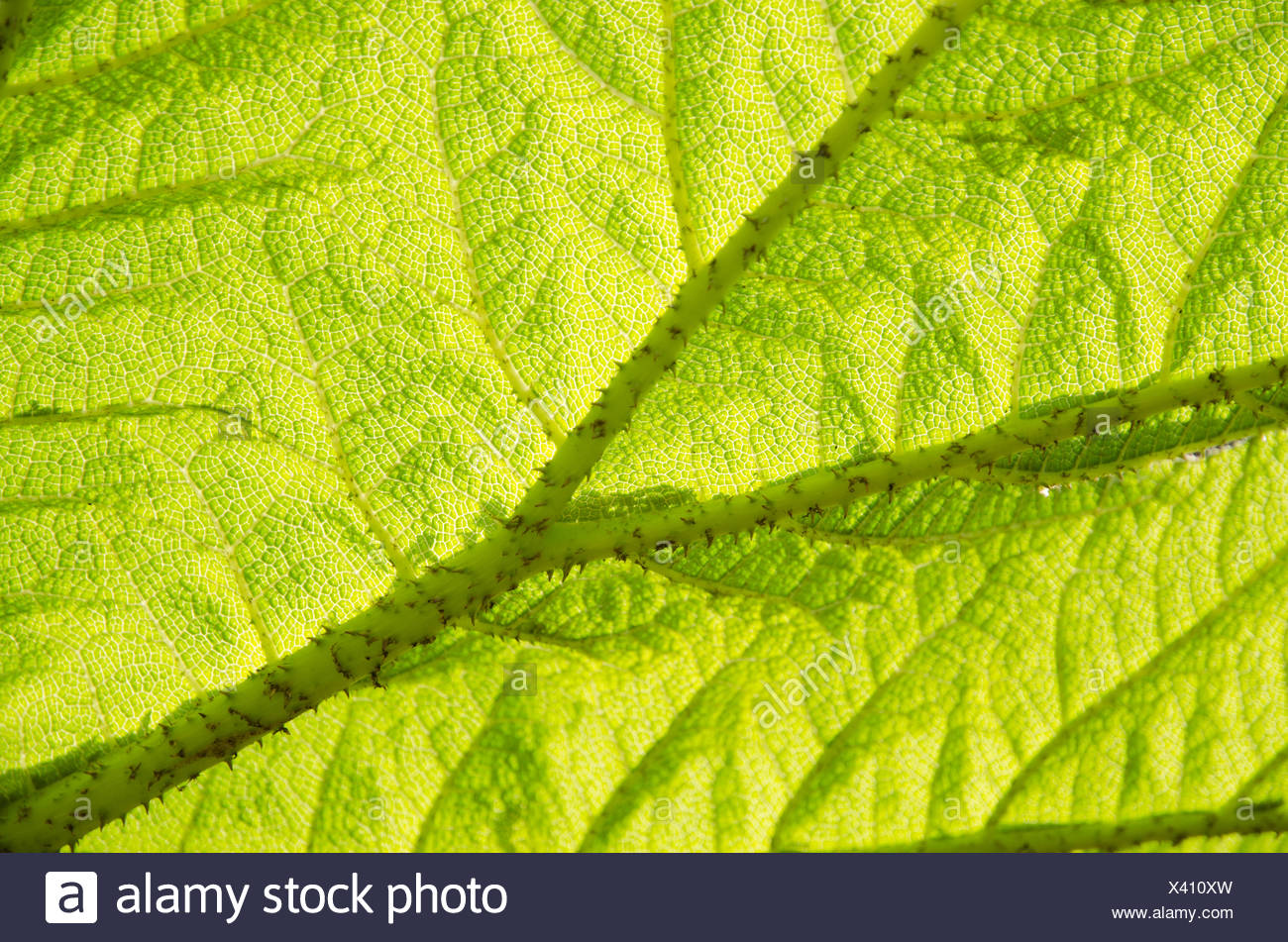 Gunnera-herbaceous flowering plants - Stock Image