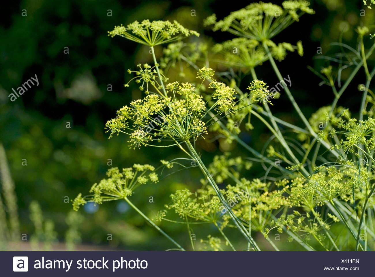 hog's fennel (Peucedanum officinale), blooming, Germany - Stock Image