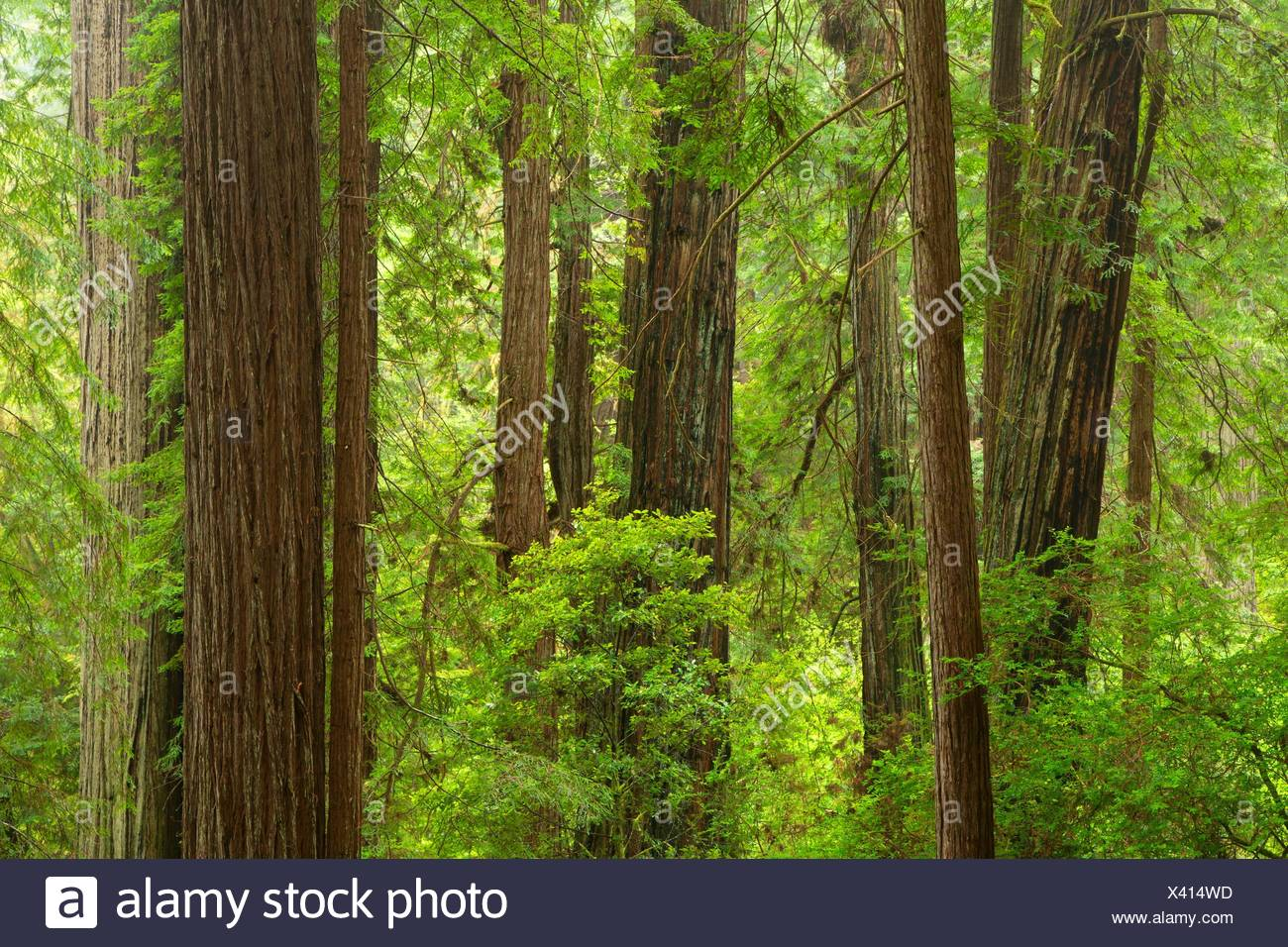 Coast redwood (Sequoia sempervirens) along Nature Trail, Prairie Creek Redwoods State Park, Redwood National Park, California. - Stock Image