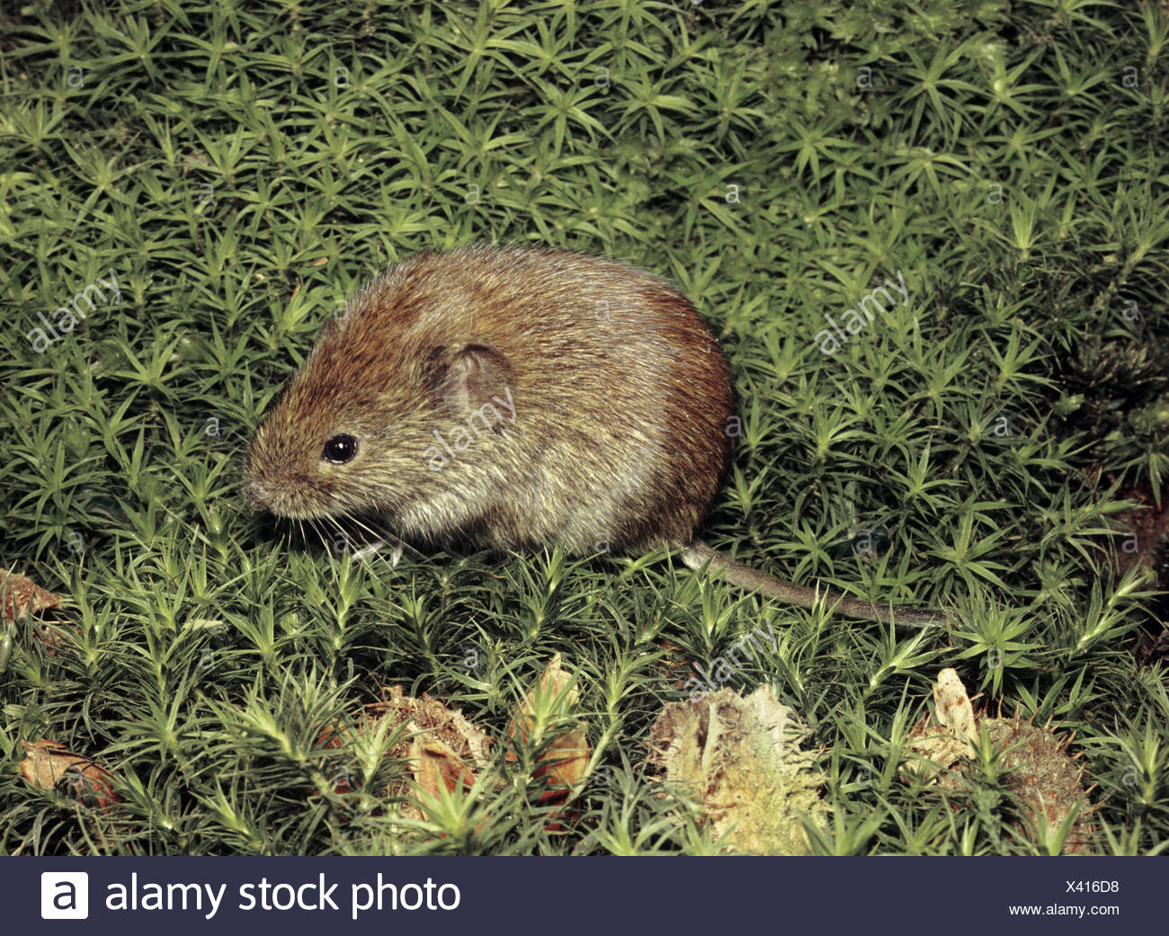 Bank Vole - Clethrionomys glareolus - Stock Image