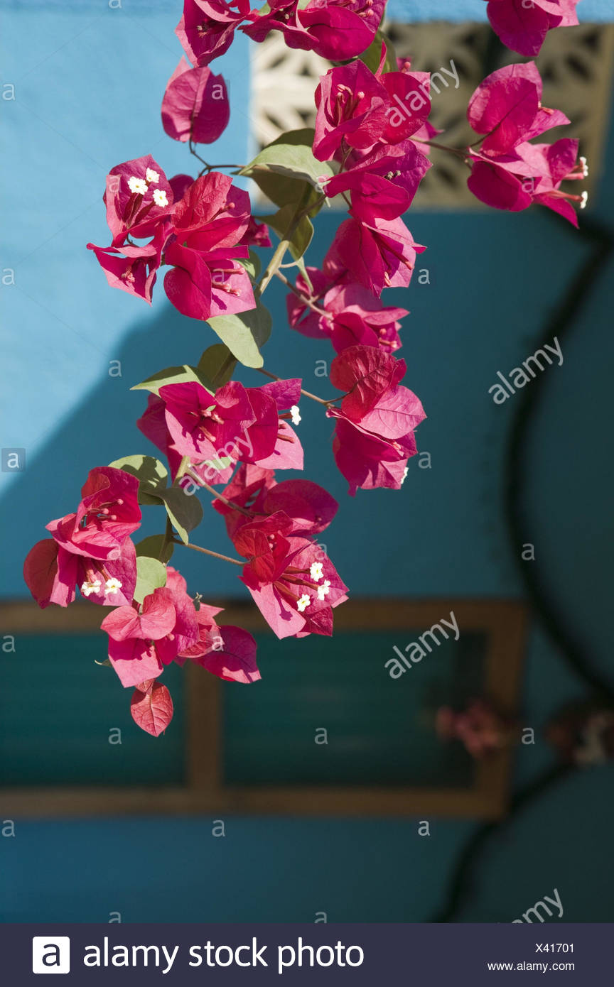 Mexiko, Guerrero, Barra de Potosi, Bougainvillea, Blüten, Detail, - Stock Image