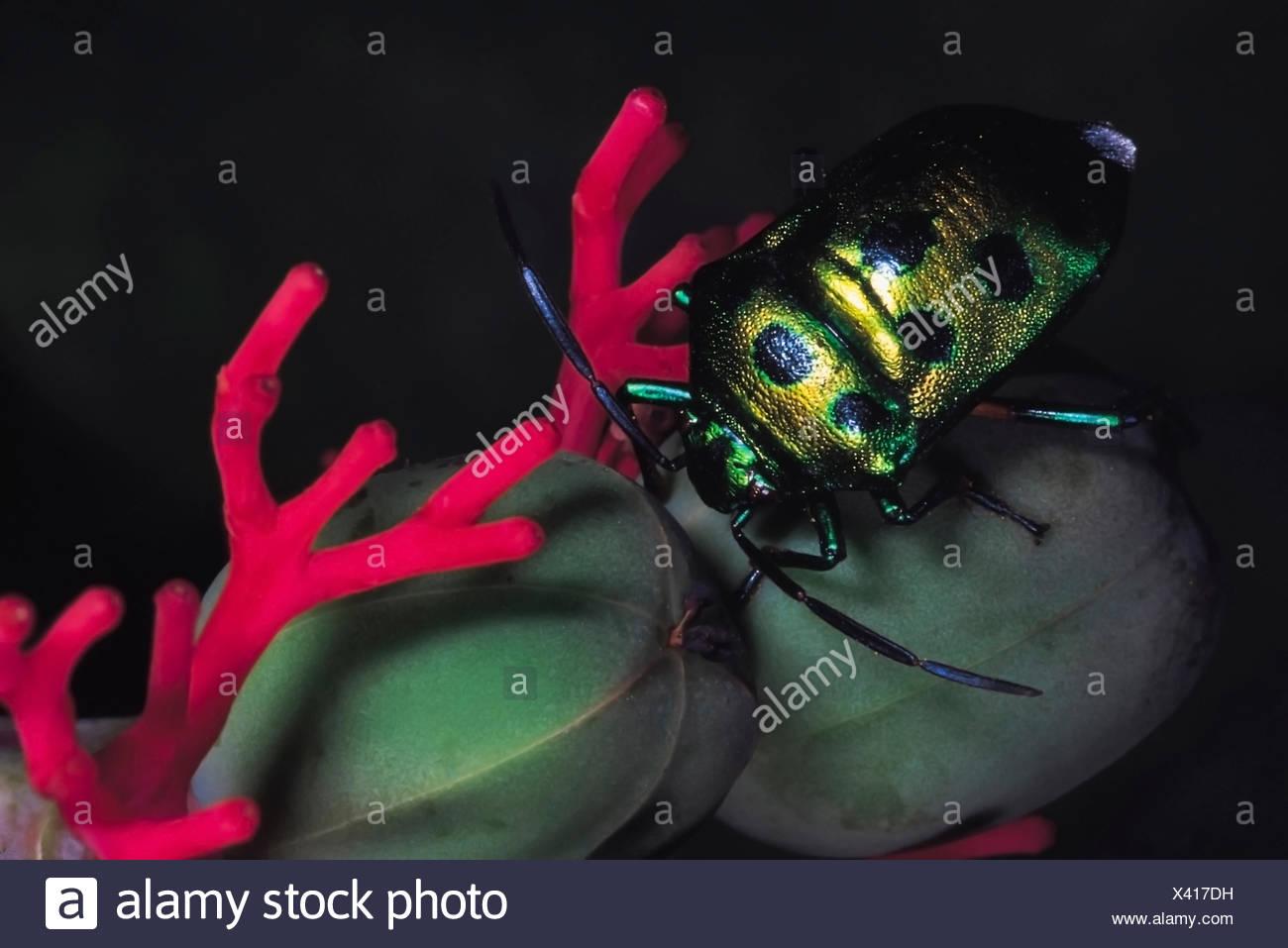 Jewel bug on Jatropa. Order: Hemiptera. Maharashtra, India. - Stock Image