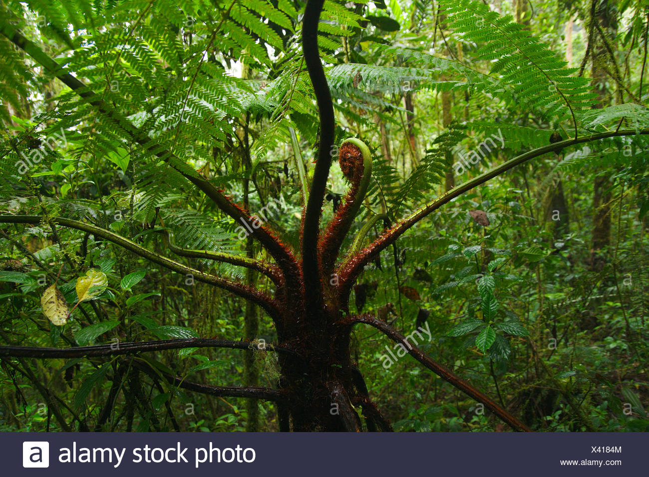 tree fern in cloud forest, Colombia, Parque Ucumari - Stock Image