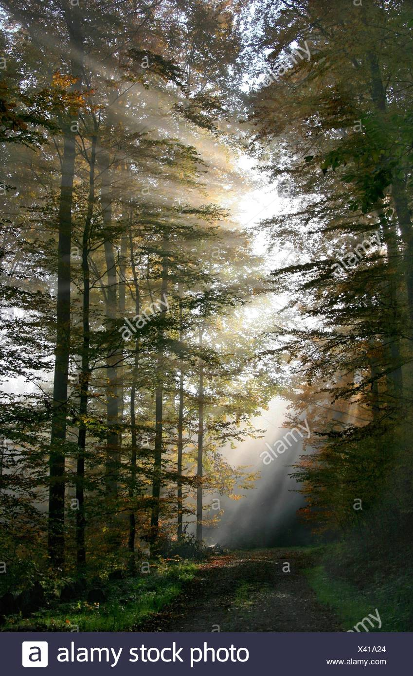 deciduous trees full of atmosphere beam of light - Stock Image