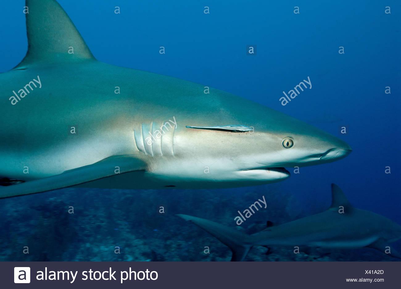Caribbean reef sharks - Stock Image