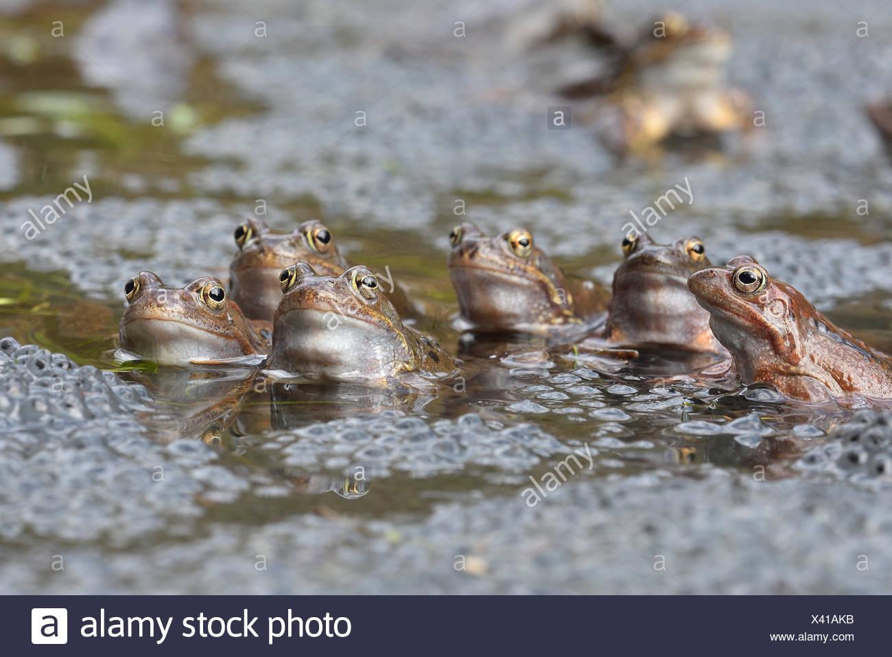 Common European Frog (Rana temporaria) - Stock Image