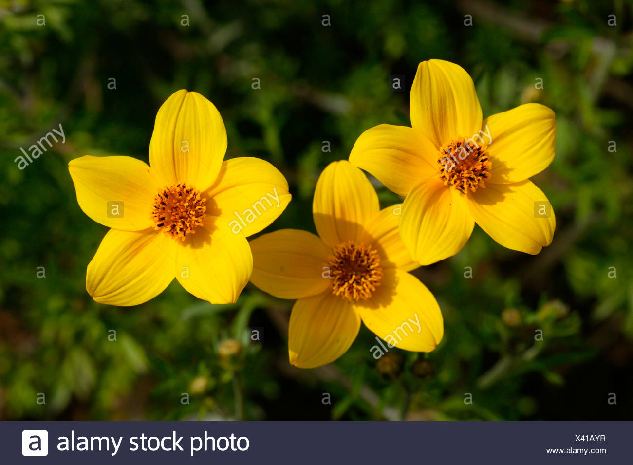 Zweizahn High Resolution Stock Photography And Images Alamy