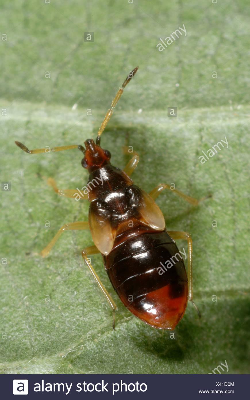 A predatory flower bug (Anthoris nemoralis) nymph Stock Photo